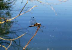 Spitzenfleck-Libelle ♀